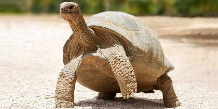 Galapagos tortoise 2